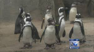 Lights At Lincoln Park Zoo by African Penguin Exhibit To Open At Lincoln Park Zoo Abc7chicago Com