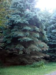 i lost 15 grown blue spruce trees that died from the ground
