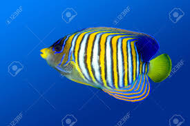 a colorful tropical regal angelfish on a blue water background