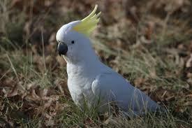 sulphur crested cockatoo birds in backyards