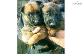 belgian malinois near me joe belgian malinois puppy for sale near little rock arkansas