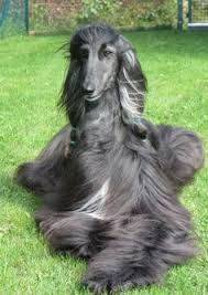afghan hound hairstyles lebrel afgano escaparatedemascotas on pinterest discover the