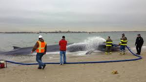 beached whale to be buried at breezy point animal