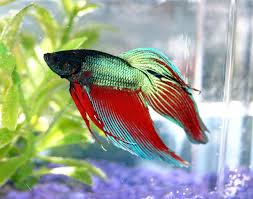 Beta Fish In Vase How To Make A Betta Tank Out Of A Vase Teens On Dimes