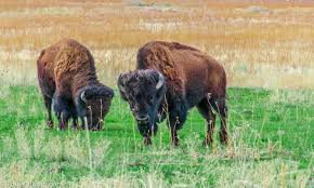 Utah wildlife tours images Safari on antelope island things to do in salt lake city tours