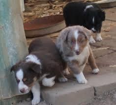 australian shepherd toy size smith farm australian shepherd breeder lexington alabama