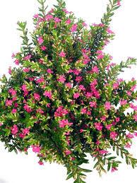 balkon grã npflanzen balkonpflanzen halbschattig pflanzenklick