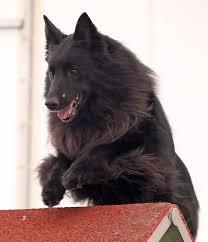 belgian sheepdog groenendael rescue 2007 frederick md belgian sheepdog club of america