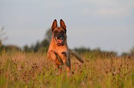 belgian shepherd easy to train dogs in emergency services badge u0026 wallet