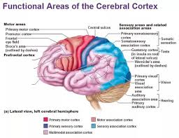 What Is The Main Function Of The Medulla Oblongata 4 Answers What Is The Biggest Part Of The Human Brain What Is