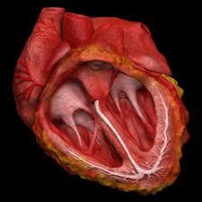 3d Human Anatomy 3d Animated Realistic Human Heart V2 0 By Doctor Jana 3d Model