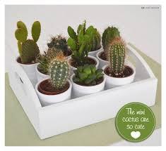 vanilla u0026 cashmere mini cactus garden