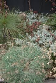 australian native plants list 51 best silver foliage aussie natives images on pinterest native