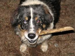 australian shepherd eye color genetics my australian shepherds eyes are cut in half by color so it