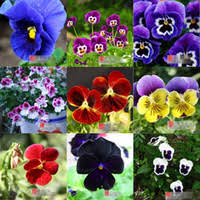 Cheap Flower Seeds - pansy flower seeds price comparison buy cheapest pansy flower