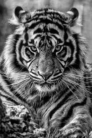 wildlife photography black white tiger king so beautiful