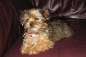 pictures of shorkie dogs with long hair shorkie
