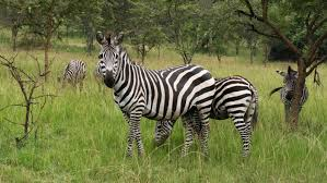 what is a group of zebras called reference com