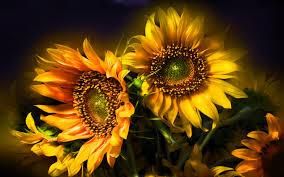 thanksgiving widescreen wallpaper hd widescreen wallpapers sunflower wallpapers sunflower images