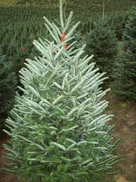 fraser fir tree fraser fir coniferous forest