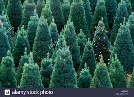 christmas tree farms near christmas lights decoration