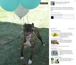 american pitbull terrier jumping 2012 dog bite fatality 23 year old u0027dog rescuer u0027 mauled to death