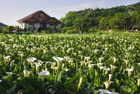 Lily Flower Garden - calla lily garden with beautiful rural scenery stock photo