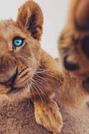 best 25 baby lions ideas on pinterest wild animals photos lion