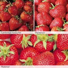 strawberry plants thompson u0026 morgan