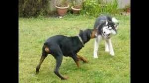 belgian shepherd vs doberman siberian husky vs doberman free download video mp4 m4a tubeid co