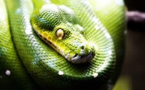 a green snake wallpapers snake wallpapers wallpaper cave
