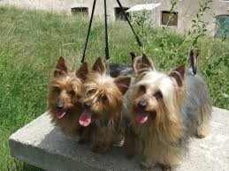22 best silky terrier dogs images on pinterest silky terrier