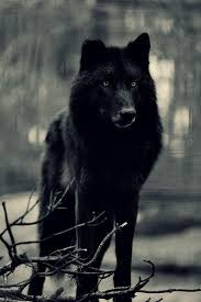belgian sheepdog wolf hybrid stunning pictures on wolf dog and animal