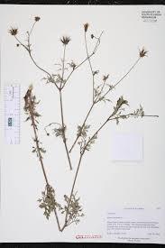 edge of the woods native plant nursery herbarium specimen details isb atlas of florida plants