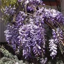 Shrub With Fragrant Purple Flowers - finley family nursery shade trees shrubs