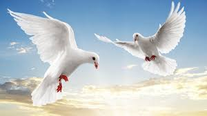 dove white doves bird flying sky sunset clouds hd widescreen