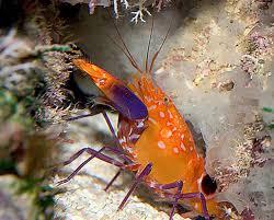 ornamental crustaceans by aaron sewell reefkeeping