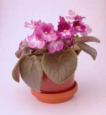 the care and feeding of african violets thriftyfun