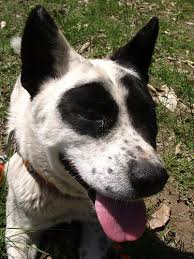 australian shepherd x pitbull top 10 smartest dogs toptenz net