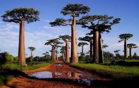 baobab tree wander lord