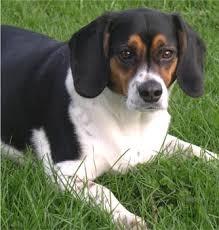 bluetick coonhound beagle dogpedia beagle