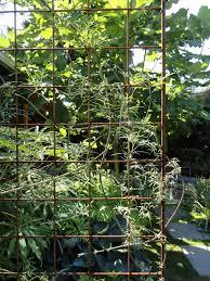 danger garden clematis tibetana var vernayi my favorite plant