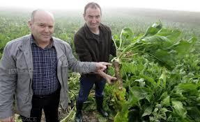 chambre d agriculture haut rhin alsace le raifort veut sortir de terre