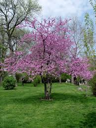 redbud for sale online wholesale u2013 lowest prices guaranteed