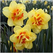 tahiti daffodil bulbs for sale buy daffodil bulbs below