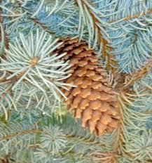 blue spruce december colorado blue spruce picea pungens santa fe