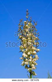 adam s needle yucca filamentosa flower also called s grass or