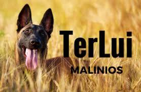 belgian tervuren 101 belgian malinois 101 terlui malinois