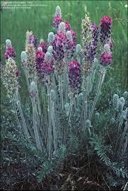 utah native plant society 38 best plants utah u0027s species images on pinterest division
