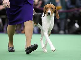 bluetick coonhound westminster around the world in 11 dogs highlights from the westminster